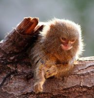 Pygmy Marmoset by Batbreath