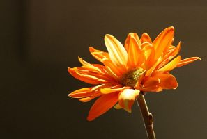 orange flower by philichino