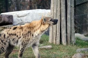 Spotted Hyena 2 by 8TwilightAngel8