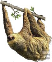 Hoffman's Two Toed Sloth by rogerdhall