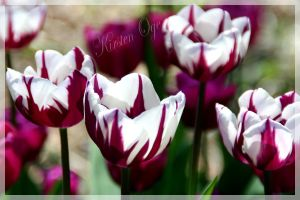 Tulips. by shedancesunderstars