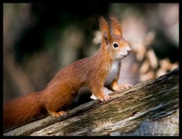 proud squirrel by morho