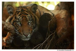 Tiger: Model original by TVD-Photography