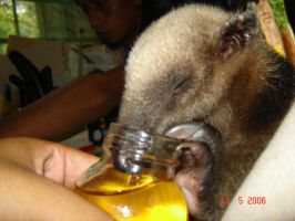 baby anteater eating honey by Daniusx