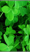 Clovers by marilyngirl1392