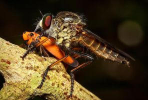 Robber Fly Feasting by josgoh