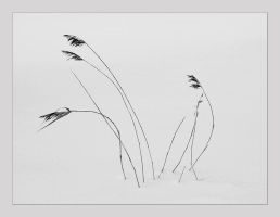 Reeds in snow by sandas04