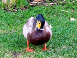 DUCKS IN MY FRONT YARD 2 by sharkbaits