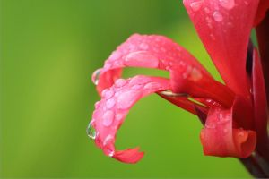Raindrops on lily by TheNicklesPickles