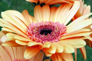 Gerberas 3 by Mark-Allison