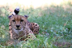 Cheetah watching by neo1984com