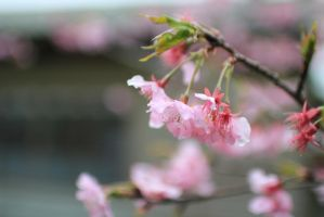 Wet Blossoms by meL-xiNyi