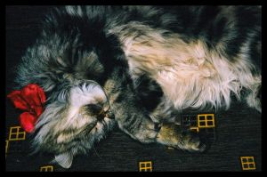My persian cat by amaretto-chan