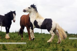 Traditional Gypsy Cob Stock 6 by s-uperflu0us