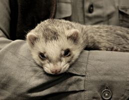 ferret by NinjaxWarrior