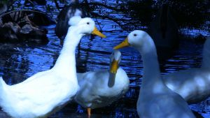 Quacked Blue by systemcat