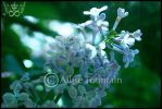 Lilacs by gogirlanime