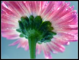 Pink Daisy 4 by kanes