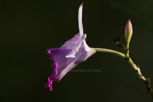 Violet Orchid by EyeInFocus