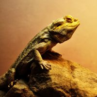 bearded dragon by Mjag