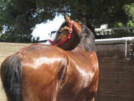 Clydesdale -5 by rachellafranchistock