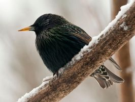 Common Starling by MichelLalonde
