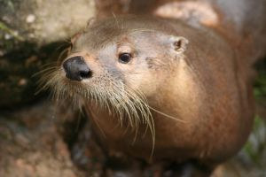 Toronto the Otter  II by rbryant