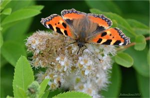 III-butterfly-pictures-nature by sonafoitova