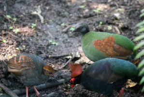 Crested Wood Partridge (Rollulus rouloul) by Steve-FraserUK