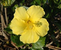 Yellow Hibiscus by Peace-of-Art