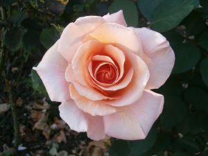 A Rose in Holland Park, London by G-A-Stock