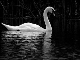 The regal swan - Aug 2009 by pearwood