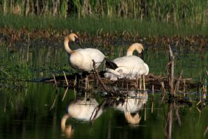 Cygnets Hatched2 by olearysfunphotos