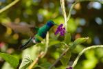 Violet Ear Hummingbird by onejumpjohnny