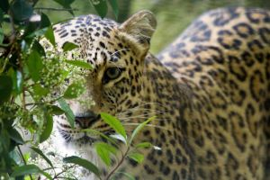 1248 - Persian Leopard by Jay-Co