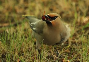 Bohemian Waxwing 3 by wolfnipplechips