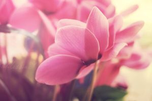 Cyclamens by Alessia-Izzo