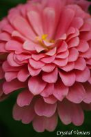 Pink Zinnia by poetcrystaldawn