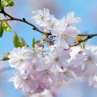 Japanese Cherry by SarahharaS1