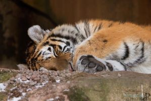 Tired tiger. by Ravenith