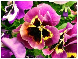 violet pansies... by Iulian-dA-gallery