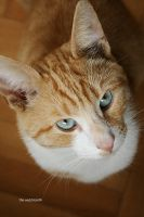 blue eyed cat by the-wabbit