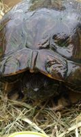 TURTLE by CannibalBlowjob