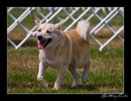 Norwegian Buhund by StrictlyCanine-SI