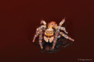 jumping spider 7 by Prototyps