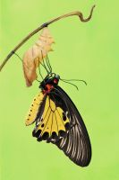Common Birdwing 291209 by inckurei