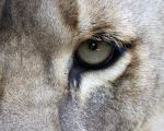 Lioness Left Eye by Jack-13