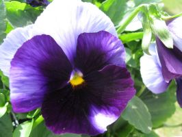 pansy.. by crazygardener