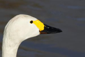 Slimbridge Bewick by hanimal60