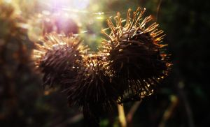 Seedheads by graphic-rusty